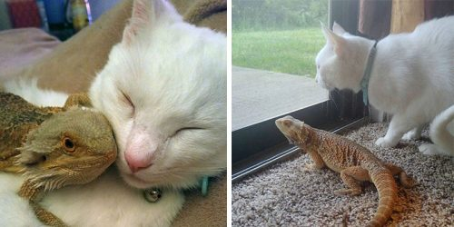 Bearded Dragon and Cat Make Heartwarming BFF's