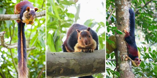 Colorful Giant Squirrels from India – How Did We Not Know About These Fluffies?