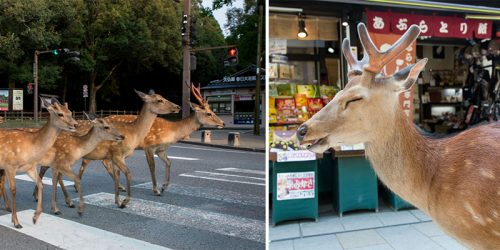 Urban Deer of Nara, Japan – Free Roaming Sika Deer Living in Populated City – Photo Series by Yoko Ishii